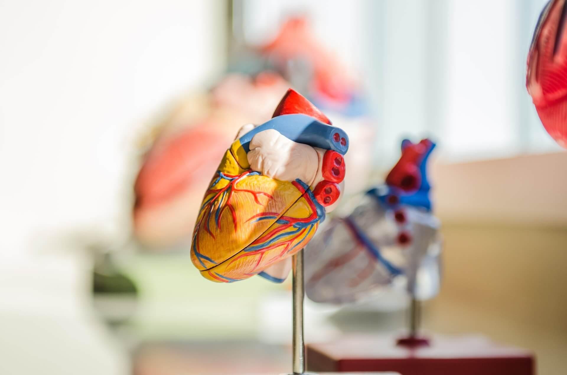 Photo of a heart organ model